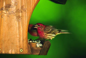 WBU Classic and Male House Finch